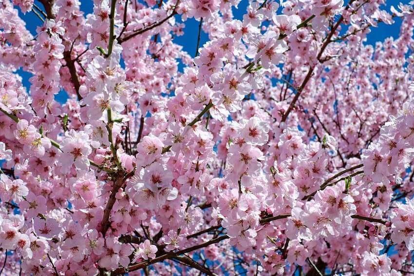 uw cherry blossoms instagram seattle