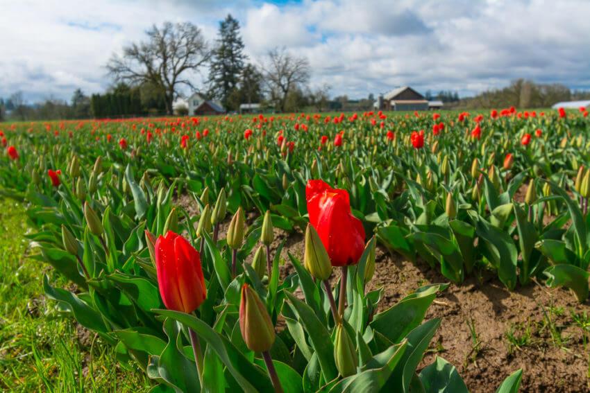 mt hood tulips
