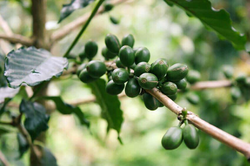 coffee beans kona hawaii