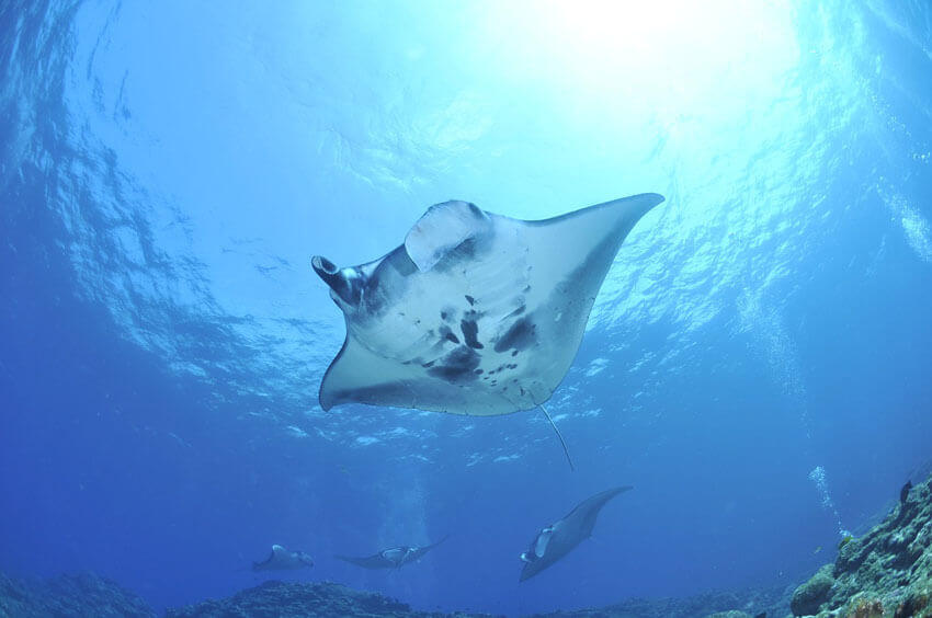 manta ray hawaii