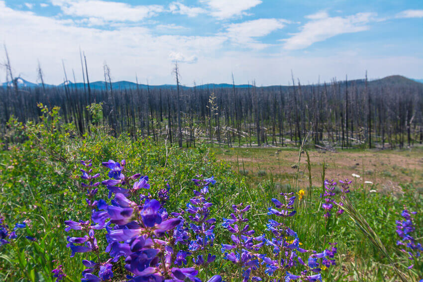 flowers in yellowstone