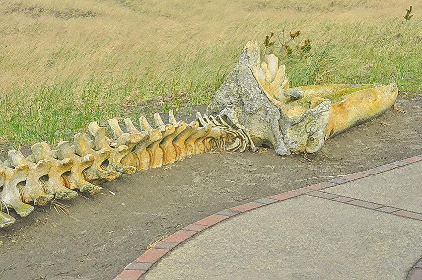 whale skeleton washington