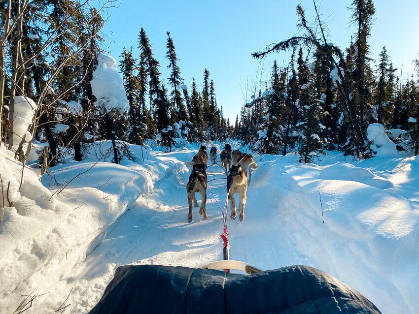 dog mushing fairbanks in winter