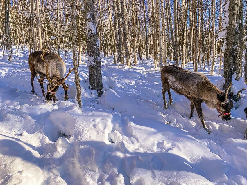 reindeer winter activities fairbanks