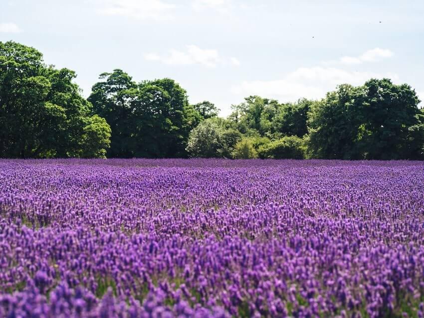 lavender sequim