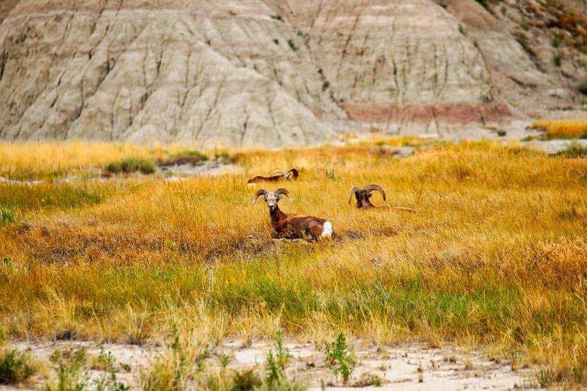 wildlife badlands