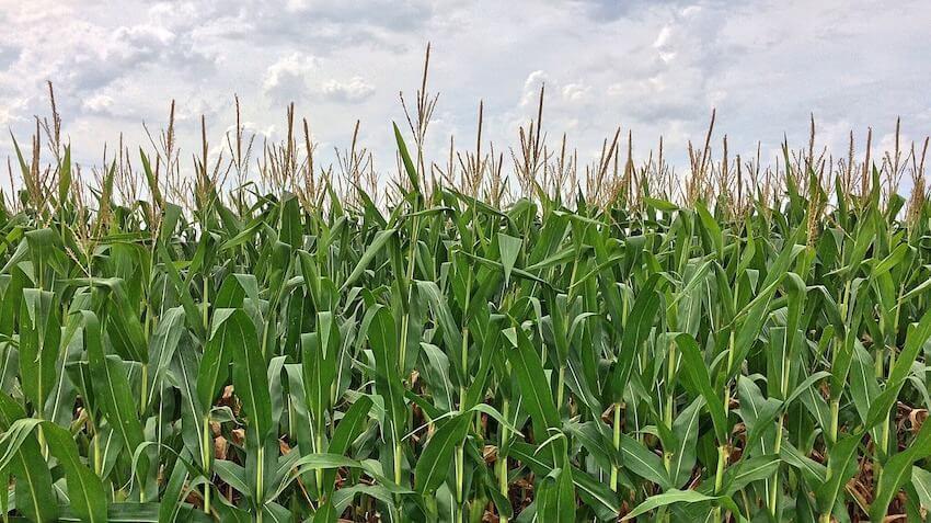 corn maze fall in Seattle