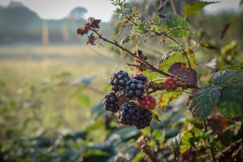 Blackberries On Farm