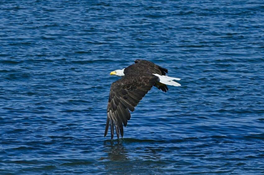 Eagle Flying Over Camano Island
